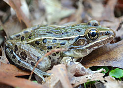 Descubierta en Nueva York una nueva especie de rana
